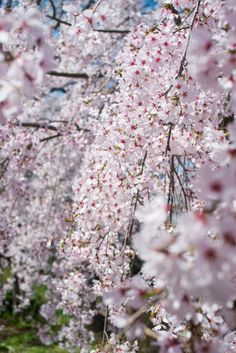 Sakura (Cherry blossoms) by Gclef Ando on 500px