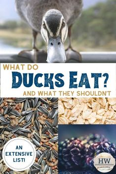 Before getting ducks, you might be asking yourself What do ducks eat? Check out this list of what to feed ducks and what not to feed ducks! Backyard Ducks, Backyard Farming, Ponds Backyard, Chickens Backyard, Backyard Birds, Pet Ducks, Baby Ducks, What To Feed Ducks, How To Raise Ducks