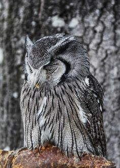 Almost invisible - Screech Owl photographed at the Center for Birds of Prey in SC.