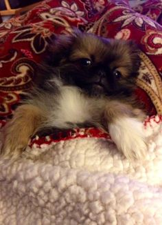 Rosie Yorkies, Pekingese Puppies, Chihuahuas, Dogs And Puppies, Animals And Pets, Baby Animals, Cute Animals, Spaniel Breeds, Dog Breeds
