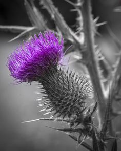 #Photograph of #Scotland's #national #flower in #selectivecolor.