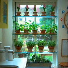 Grow great herbs indoors on window plant shelves. The directions given below are for wooden plant shelves, but glass can easily be substituted