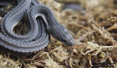 "crispysnakes: ""  Xenodermus Javanicus - Dragon Snake (Source thread) """