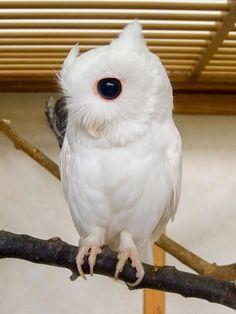 beautiful albino owl!
