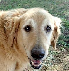 Rowdy has been adopted! This is Rowdy approx 6-7 yrs. He was a stray from a shelter. He is neutered, current on vaccinations, potty trained, kids over age 12 yrs only. He has good energy. Arizona Golden Rescue.