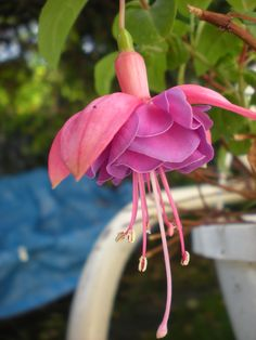 fuscia...hard to grow, but the most beautiful flower
