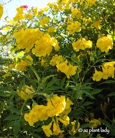 10 Best Yellow Flowering Herbs Images Herbs For Health Healing