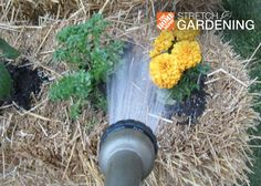 Growing plants in a bale of wheat straw is an eco-friendly alternative to gardening in plastic containers, and it's 100% compostable! What a great way to stretch the garden!