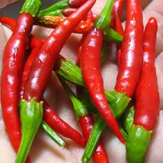 Chile de Árbol Chili Pepper. 15,000 - 30,000 Scoville Units. Capsicum annuum. The Chile de árbol, Spanish for tree chili, is a small and potent Mexican chili pepper which is also known as bird's beak chile and rat's tail chile. In cooking substitutions, the Chile de árbol pepper can be traded with Cayenne pepper. The peppers are a bright red color when mature. Chile de árbol peppers can be found fresh, dried, or powdered.