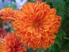 Flor crisantemo escrito en Arabe