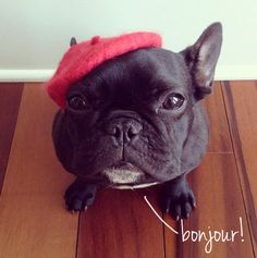 french dog - Google Search