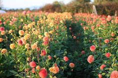 You searched for growing dahlias part 1 - Floret Flowers Tulips Garden, Cut Flower Garden, Planting Flowers, Flower Gardening, Potted Garden, The Farm, Organic Gardening, Gardening Tips, Urban Gardening