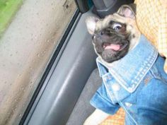 Pugs deserve denim too Baby Animals, Funny Animals, Cute Animals, Cute Puppies, Cute Dogs, Funny Facial Expressions, Crazy Dog, Pug Love, Funny Animal Pictures