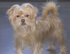 Adopt Siren, a lovely 2 years  1 month Dog available for adoption at Petango.com.  Siren is a Shih Tzu / Terrier, Yorkshire and is available at the National Mill Dog Rescue in Colorado Springs, Co.  www.milldogrescue.org #adoptdontshop  #puppymilldog   #rescue  #adoptyourfriendtoday