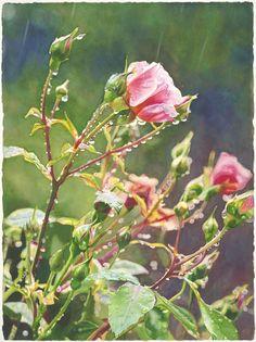 """""""Raindance"""" watercolor by Cara Brown.      Roses - Life in Full ColorLife in Full Color"""