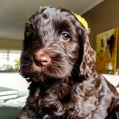 Labradoodles, Southern, Dogs, Animals, Animaux, Doggies, Animal, Animales, Pet Dogs