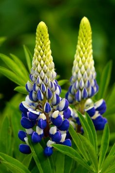 Lupine -- What a color combo!   photo by Gail O'Keefe