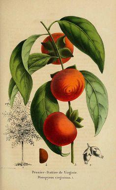 202347 Diospyros virginiana L. / La Belgique horticole, journal des jardins et des vergers, vol. 4: p. 118, t. 19 (1854)