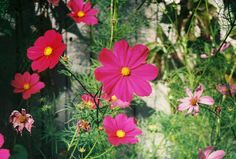 I love these bright pink cosmos! Bright Pink, Cosmos, Bloom, Plants, Beautiful, Universe, Planters, Space, Plant