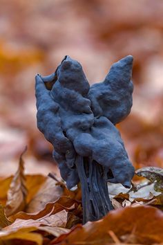 Fluted Black Elfin Saddle Mushroom (Helvella lacunosa), Germany