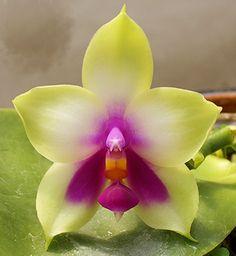 Phalaenopsis Orchids Phalaenopsis Orchid, Orchids, Kerala India, Plants, Flora, Plant, Orchid