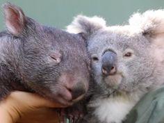 Koala, wombat become 'iso-buddies' during coronavirus lockdown - National | Globalnews.ca Cute Friends, Best Friends, Australian Reptile Park, Australian Bush, Common Wombat, Nocturnal Mammals, Unlikely Friends, Good Buddy, Bored Panda