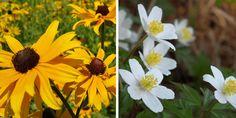 Native Plants of Ontario You Should Grow in Your Garden Black Eyed Susan Flower, Easiest Flowers To Grow, Border Plants, Growing Gardens, Garden Centre, Low Maintenance Garden, Flowering Shrubs, Different Plants, Garden Projects