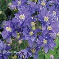 'Blue' Columbine
