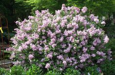 Dwarf Korean lilac (Syringa meyeri 'Palibin') is compact and attractive, and is fragrant when in bloom. Resists powdery mildew, too. For full sun or part shade. (I've grown this and love it.)
