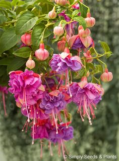 Cecillia the Heart Breaker Fuchsia Exotic Plants, Exotic Flowers, Tropical Flowers, Amazing Flowers, Beautiful Flowers, Fuchsia Plant, Fuchsia Flower, My Flower, Purple Flowers