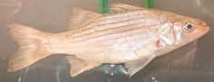 White Bass - Morone chrysops  White bass are a popular sport fish that can be caught in large number when they make their spring spawning migrations up tributaries of larger water bodies.