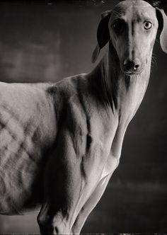 Azawakh (African Hound) Photographer: Paul Croes