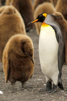 King penguin chick is 'sorry'