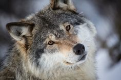 Wallpaper wolf, gray wolf, face, eyes, portrait wallpapers animals ...