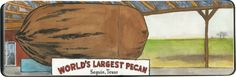 """One of the many """"world's largest"""" pecans...but apparently this one is the newest claimant to the crown. Sketched in Seguin, TX."""