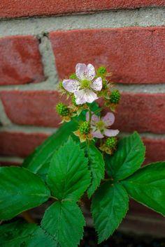 blackberry blossom, bramen bloesem