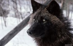 animals, wolf #wolf #animals