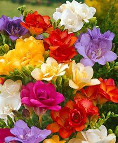 """La fresia: fiore originario dell'Africa meridionale. Proprio per il fatto di non avere quasi memoria storica sulla sua origine, la fresia è simbolo del mistero e del fascino per l'arcano. È anche simbolo per chi lo deve regalare di amore platonico. Un altro simbolo è la """"nostalgia"""". Questo significato è ben giustificato per il semplice motivo che il suo profumo dolce e penetrante ci fa sentire una forte nostalgia della bella stagione. #flower #fiori #wedding #matrimonio #fresie"""