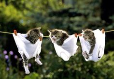 Cute Kittens in Underwear on a Clothesline - Kitty cat laundry! Funny cat pictures - cute kitty cats and kittens, funny animal pics, lolcats, catlove, cat lover. Cute Kittens, Little Kittens, Cats And Kittens, Baby Kittens, Kitty Cats, Baby Animals, Funny Animals, Cute Animals, Baby Giraffes
