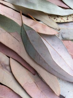 EUCALYPTUS --{ rubbery leaves that hang either vertically or obliquely. Eucalyptus leaves are mostly known for containing fragrant oil }--http://www.gardenguides.com/108499-eucalyptus-tree.html#ixzz2hLHw9TNM