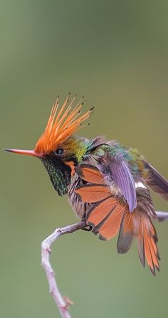 Kokette crestirrufa - Rufous-crested Kokette - Zierelfe - Flatters of Delattre , Rare Birds, Exotic Birds, Colorful Birds, Most Beautiful Birds, Pretty Birds, Beautiful Creatures, Animals Beautiful, Tier Fotos, Bird Pictures