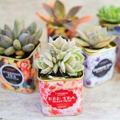 Succulents in Tea Tins. Use vintage tea tins as planters for your favorite succulents. Succulent Pots, Cacti And Succulents, Planting Succulents, Garden Plants, Indoor Plants, House Plants, Planting Flowers, Potted Plants, Propagate Succulents