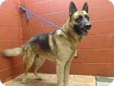 Downey, CA - German Shepherd Dog Mix. Meet NIKO, a dog for adoption. http://www.adoptapet.com/pet/13125454-downey-california-german-shepherd-dog-mix