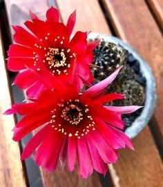 Boom...mic drop 🎤 #cactus #cactuslove #succulent #succulove #desert #plant #nature #leafandclay #jungalowstyle #succulents #flower #flowerlove #garden #plants #instagood #photoftheday #picoftheday #instalike #beautiful #green #cactusrepost #bestoftheday #cactusmovement #cactusclub #cacti #urbanjunglebloggers #love