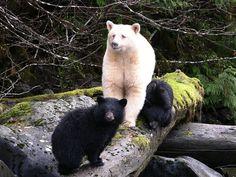 Ursos do mundo todo | Quizur