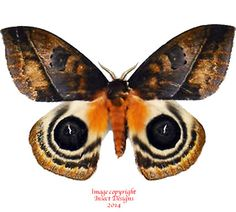 This is the stunning Automeris anikmeisterae moth from Costa Rica.