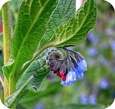 Smeerwortel als EHBO: smeerwortelblad aftreksel, geraspte smeerwortel, smeerwortel-tinctuur Healing Herbs, Edible Garden, Health Remedies, Planting Flowers, Natural Remedies, Roots, The Cure, Plant Leaves, Flora