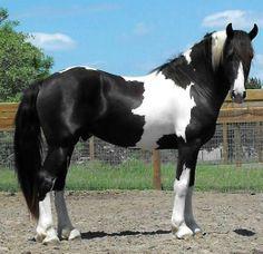 Rare Pinto Friesian Sporthorse Stallion