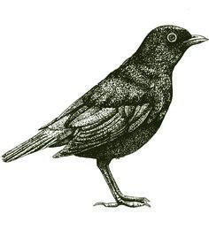 bird  thrush illustration