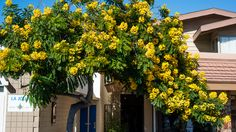 Cassia trees are prolific bloomers. Widely grown ornamental trees, cassias are medium-sized trees growing between 10 - 20 m tall. Low Water Landscaping, Landscaping Plants, Landscaping Ideas, Garden Plants, California Flowers, Street Trees, Hidden Garden, Gold Medallion, Tree Lighting